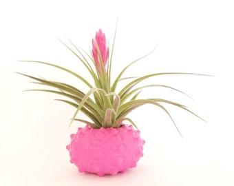 Air Plant Holder , Valentine's Gift ,  Pink Sea Urchin Shell , Wedding Favor , Home Decor  Office Decor , Desk Accessory