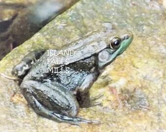 Frog on a rock digital download