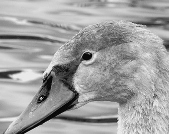 Fotografia cigno bianco, fotografia animali bianco e nero, stampa Fine Art, uccelli in bianco e nero, regalo matrimonio, regalo anniversario
