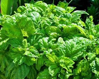Wild Greek Basil, Handpicked, Naturally dried greek herb, culinary herb,Organic Seasoning, Whole Food, Unique gift for cook lover, aromatic