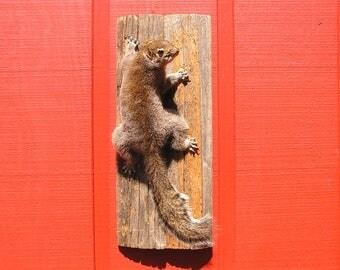 Gray Squirrel Taxidermy