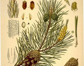 5 x 7in. Botanical Print - Scotch Pine (Pinus silvestris)