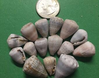 15 piece hawaiian cone shell lot. Hand picked on Big Island of Hawaii
