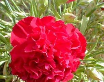 Carnation Scarlet Red 30 Seeds, Dianthus - Bloom all summer long