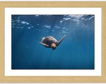 Sea Turtle Surfacing : Framed Photograph
