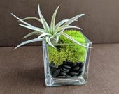 Air Plant Square Glass Vase Terrarium with Green Reindeer Moss and Black Pebbles