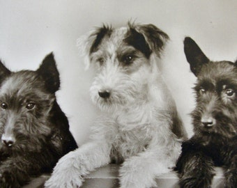 Near Mint Real Photo Postcard ~ DOGS Scottish TERRIERS Portrait ~ ADORABLE Postally Unused