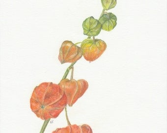 Original botanic drawing in pastel pencil of a Physalis