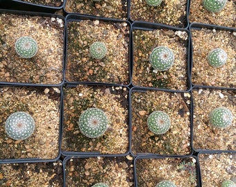 Cactus species - Golf Ball cactus