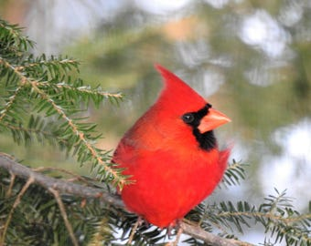 Posing (Male Northern Cardinal)