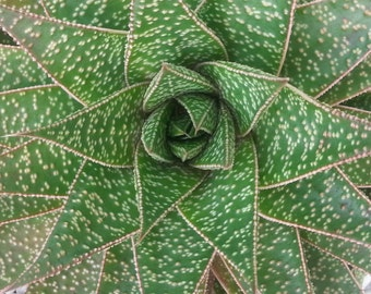 "Gasteraloe Green Goddess, Aloe and Gasteria hybrid, Fairy Garden Succulent, Variegated succulent, Beginner easy plant, 5"" pot size"