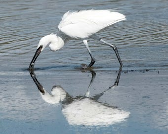 Reflecting Over Dinner - Snowy Egret