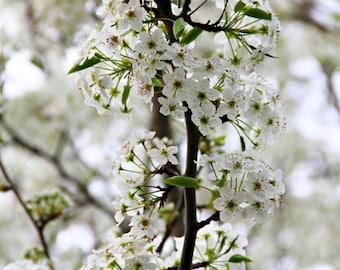 Cherry Blossom Tree, Newark, NJ, Wall Art, Print