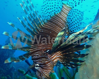 Fine Art Lionfish Digital Image (Rights Reserved). Invasive Lionfish In The Caribbean