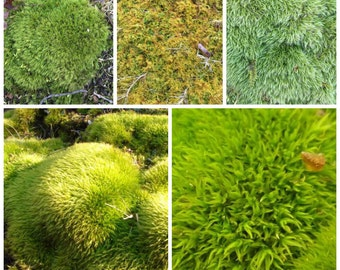 Live Moss 2 gallon sample pack, best value on Etsy, , Wedding decor, FREE SHIP USA, world wide shipping 20% off July Summer sale