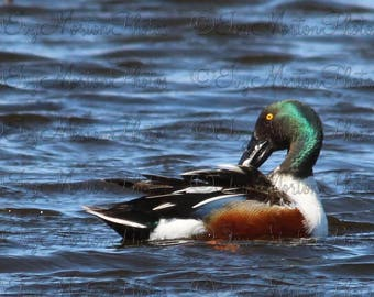 Northern Shoveler (8 x 10 photo)