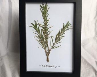 Genuine Rosemary, Dried & Pressed