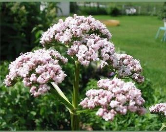 250 VALERIAN (Garden Heliotrope / Heal All) Valeriana Officinalis Herb Flower Seeds