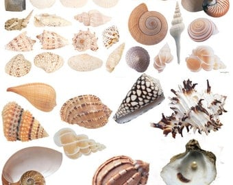 Clipart shells 33 pcs, pictures of shells PNG.