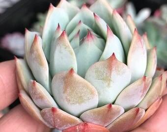 Echeveria Prism