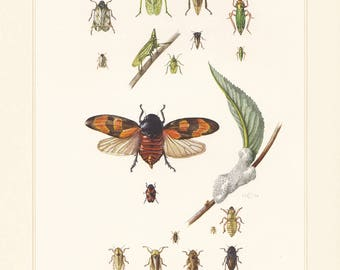 Vintage lithograph of cicadas, planthoppers, froghoppers from 1956