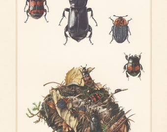 Vintage lithograph of burying beetles, silphidae from 1955