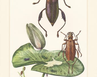 Vintage lithograph of leaf beetles, donacia crassipes, macroplea equiseti from 1956