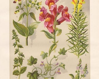 Vintage lithograph of figwort, common snapdragon, corn speedwell, heath speedwell, common toadflax, ivy-leaved toadflax from 1911