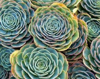 Echeveria BLUE rare succulent imbricata Blue Rose Echeveria :)