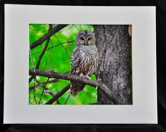 Owl Art, Owl Print, Owl Photography, Barred owl Art.Forest view of a hunting Barred Owl.