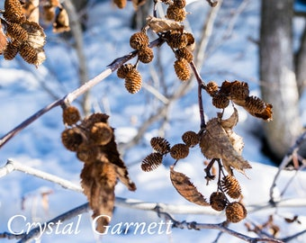 Pine Cones and Leaves Against Snow 1