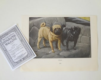 Pug Dogs Print Antique Circa 1919  Louis Agassiz Fuertes Black & Fawn Small from National Geographic -  EnglishPreserves