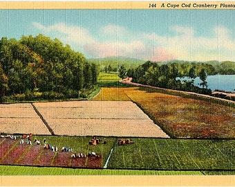 Vintage Cape Cod Postcard - A Cape Cod Cranberry Bog (Unused)