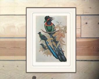 Gorget Pardise-birds, Arfak Astrapia Nigra, Vintage Print 1979/103 John Gould 1870s Birds Ornithology Print Woodland Library Decor