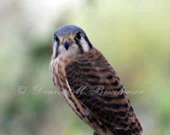 Wild Raptor Photos - American Kestrel Photo - Hawk Photos - Photos of American Kestrels - Desert Wildlife Photography - Desert Kestrel Photo