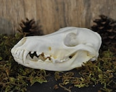 Exotic Real Beautiful Large Coyote Skull - Discount