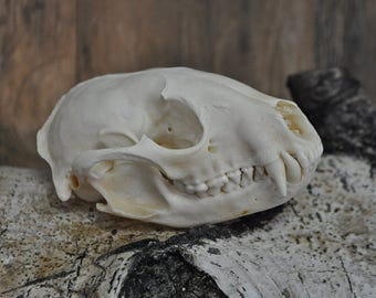 Real Beautiful Raccoon Skull Bone