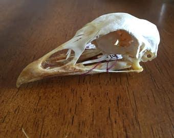 Wild Turkey Skull