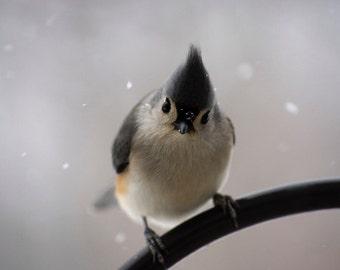 Tufted Titmouse, bird photo, cute bird print, snow, cozy cabin, bird print, nature photography, wildlife photograph, grey, slate, blue, bird