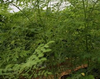 Live Moringa oleifera Tree's