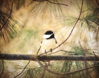 Song Bird Photography nature photography,rustic,black capped chickadee,adorable home decor,tiny bird on pine branch,bird lover's gift idea