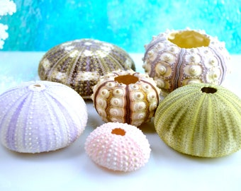 Sea Urchin Collection Set of 6 ~ Sea Urchins ~ Beach Decor ~ Terrarium Shell ~ Alphonso Sea Urchin ~ Sputnik ~ Purple ~ Assorted Sea Urchins