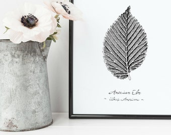 "American Elm Tree Leaf Print | 8"" x 10"" Illustration 