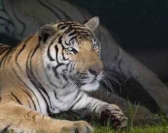 Digital Photo of Tiger at Water's Edge,  Animal Photograph, Big Cat Photograph, Animal Clipart, Printable Decor, Wall Art, Wildlife Photo
