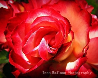 RED ROSE FLOWER Art Print