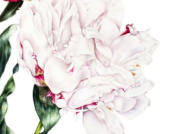 White Peony Print, Large archival botanical print, Watercolour print, Botanical art, Peony print