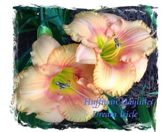 """Daylily: """"Dream Icicle"""", double fan, perennial"""