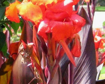 Canna lily Australia Bronze foliage tall Red flowers 3 bulbs /Rhizomes