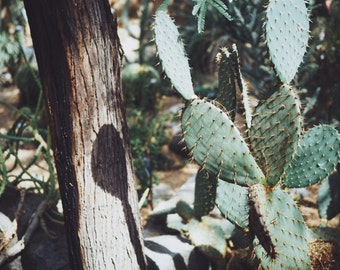 "Cactus Photo, Botanical, Nature Photography, Plant Photograph USA, Desert, 8"" x 10""."