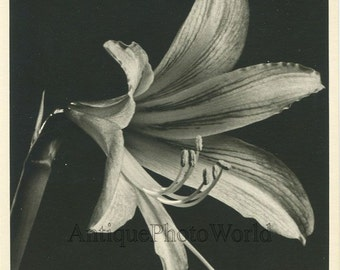 Amaryllis flower close up vintage art photo by R. Doolittle